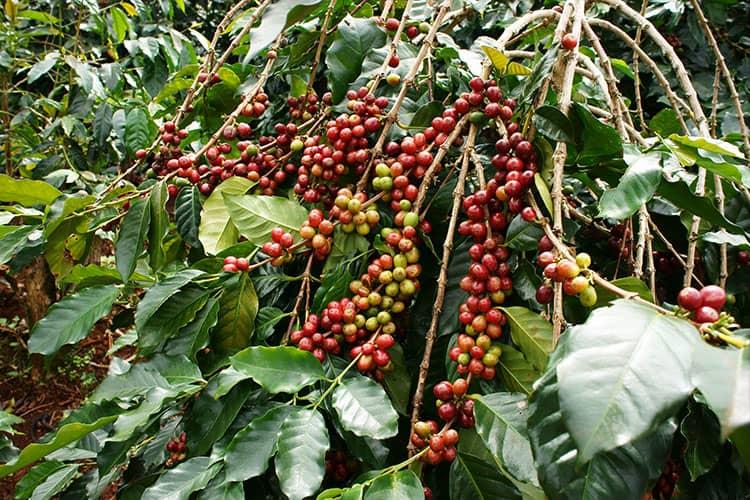 coffee-cherries-on-coffee-trees